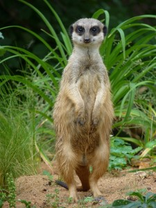 meerkat-854590_1920