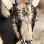 goat-1638961_1920