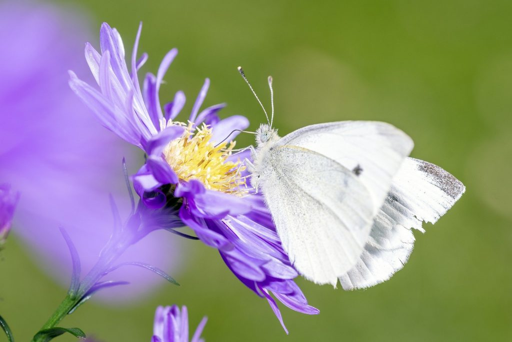 Cabbage White butterfly preparing to eat my vegetables this year...!